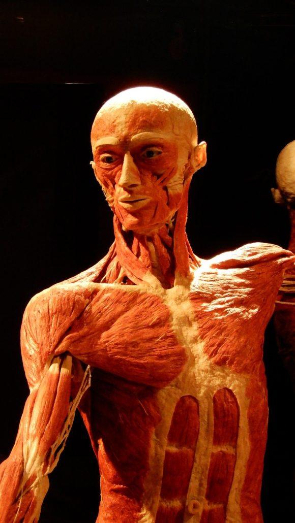 Am Donnerstag, den 23. Januar um 15 Uhr, möchte Kapitel Zwei vor oder nach Deinem Deutschkurs die Ausstellung Körperwelten in Berlin Mitte besuchen. Sie ist nichts für schwache Nerven und genau deshalb polarisiert die Ausstellung so sehr.  Bei dieser Ausstellung wirst Du keine Malbilder oder Skulpturen aus Stein oder Keramik sehen, nein... sondern präparierte (echte) Menschen! Wie denn? Die ausgestellten Präparate sind menschliche Körper, die durch den Prozess der Plastination konserviert wurden. Nicht nur Körper, sondern Organe und Tiere sind hier zu sehen. Diese Ausstellung gibt uns die Möglichkeit, über uns und über den Körper auf andere Art und Weise zu lernen.  Aber wer kommt denn auf so eine Idee? Der Gründer der Körperwelten ist Gunther von Hagens, er studierte Medizin und ist der Erfinder der Plastination. Die Körper, die in der Ausstellung zu sehen sind, kommen von freiwilligen Spendern. Vertrauen wir mal darauf! Diese Ausstellung wird kontrovers diskutiert. Ja, sie ist nichts für jedermann… Was hältst Du davon? Ist das etwas für Dich? Wollen wir gemeinsam dahin und dann unsere Meinungen austauschen? Unsere Promoterin Antonella hat die stärksten Nerven und begleitet Dich dorthin! Kapitel Zwei freut sich auf Dich